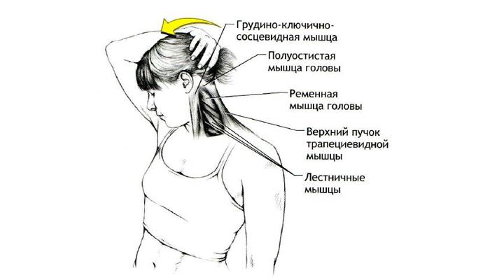 Проработав разгибающие мышцы